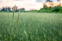 Rye em um campo Fotografia de Stock