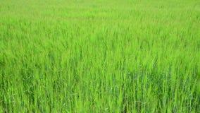Rye en curvas del campo debajo de un fuerte viento almacen de video