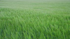 Rye en curvas del campo debajo de un fuerte viento metrajes