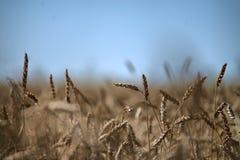 Rye en el campo del verano Fotografía de archivo