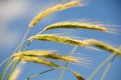 Rye en el viento Imagenes de archivo
