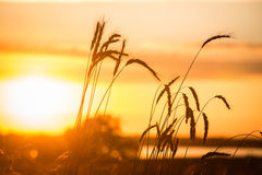 Rye en un fondo del sol poniente Imagenes de archivo