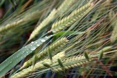 Rye et warer-baisses Image libre de droits