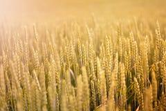 Rye fält Royaltyfri Foto