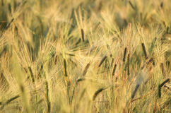Rye-Feld auf dem Sonnenaufgang Lizenzfreies Stockfoto