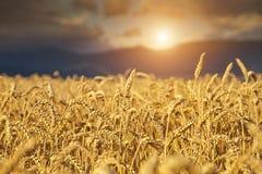 Rye-Feld bei Sonnenuntergang Stockbilder