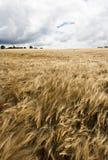 Rye-Feld im Wind Stockfotos