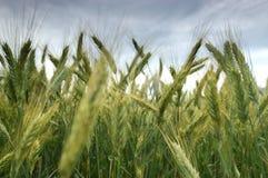 Rye-Feld im Spätsommer Lizenzfreies Stockfoto