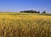 Rye-Feld mit Bäumen auf dem Horizont lizenzfreies stockbild