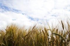 Rye-Feld im sonnigen Wetter Lizenzfreies Stockbild