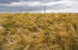 Rye-Feld unter einem drastischen bewölkten Himmel Stockfotos
