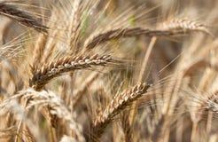 Rye-Feld vor Ernte Lizenzfreie Stockfotos