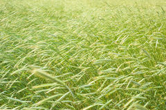 Rye field. Field of green rye waved by wind stock image