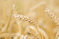 Rye field. Rye in the field close up royalty free stock photo
