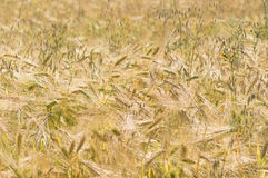 Rye field Stock Photos
