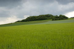 Rye field. Green rye ears under an overcast sky. With space for copy stock photography