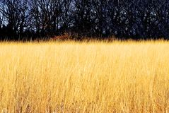 Rye field. Some place at USA Midwest. Farm field stock photography