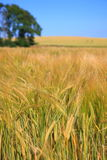 Rye field. In South of Sweden Royalty Free Stock Image