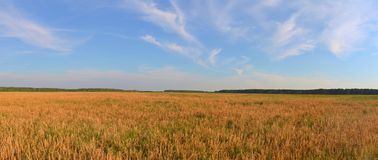 Rye field. Ripe rye on the field in autumn, panorama Stock Photos