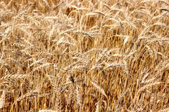 Rye field. Field of ripe rye in central Russia Royalty Free Stock Photos