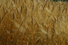 Rye field. In summer, harvest time Stock Image