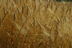 Rye field Stock Image