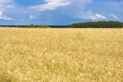 Free Rye Field Stock Photography - 42585612