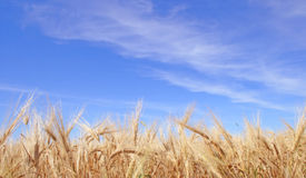 Free Rye Field 5 Royalty Free Stock Photo - 2961525