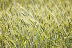 Rye field Royalty Free Stock Photography