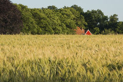 Rye field in the Achterhoek in Netherlands. With an authentic farmhouse with red frame in the background Stock Photos