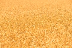 Rye field background Royalty Free Stock Photos
