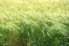 Rye field background Stock Images
