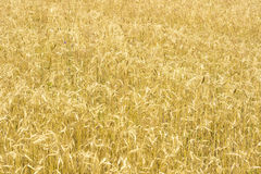 Rye field background Stock Photo