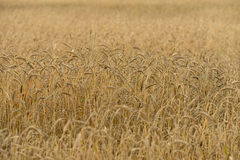 Rye field background Royalty Free Stock Images