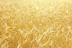 Rye field background Stock Image