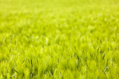 Rye Field Backgrounds Royalty Free Stock Photography