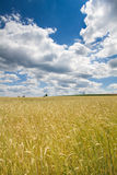 Rye field in Bavaria, Germany Royalty Free Stock Image