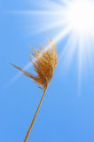 Rye field on a beautiful sunny sky background Royalty Free Stock Images