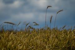 Rye field in Belarus. Stock Photo