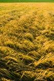 Rye field in Belarus. Stock Photos