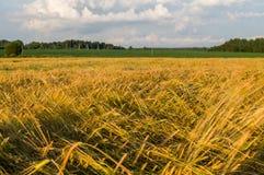 Rye field in Belarus. Royalty Free Stock Photography