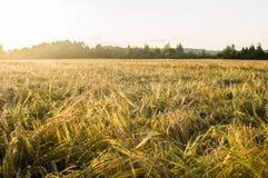 Rye field in Belarus. Stock Images