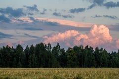 Rye field in Belarus. Royalty Free Stock Image