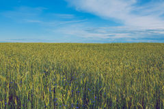 Rye field an blue sky. Royalty Free Stock Images