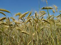 Rye field with blue sky royalty free stock images