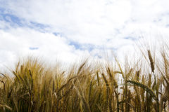 Rye Field in sunny weather Royalty Free Stock Image