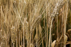 Rye field , close up Stock Photography