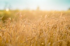 Rye field. Closeup of cultivated rye field Royalty Free Stock Photo