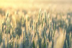 Rye field closeup. Field of rye lit with bright sunshine, closeup royalty free stock images