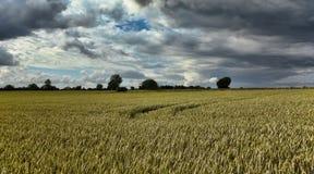 Rye field, Denmark Stock Photos
